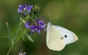 Large white butterfly (Pieris brassicae), feeding on nectar, Finland, August.  -  Jussi Murtosaari