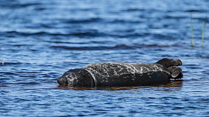 Saimaa ringed seal (Pusa hispida saimensis) freshwater seal, endemic to Lake Saimaa, Finland May. - Jussi Murtosaari
