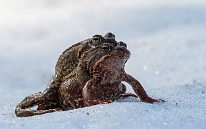 European common frog (Rana temporaria), pair in amplexus in snow, Finland, May.  -  Jussi Murtosaari