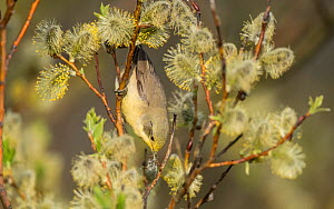 Lesser whitethroat (Sylvia curruca) covered in yellow pollen, Finland, May.  -  Jussi Murtosaari