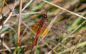 Yellow-winged darter (Sympetrum flaveolum), adult male, Finland, August. - Jussi Murtosaari