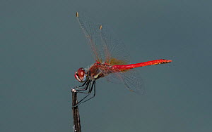 Red-veined darter (Sympetrum fonscolombii), adult male, Greece, July. - Jussi Murtosaari