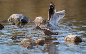 Redshank (Tringa totanus), pair mating, Finland, May.  -  Jussi Murtosaari