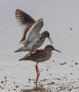 Redshank (Tringa totanus), mating pair, Finland, June.  -  Jussi Murtosaari