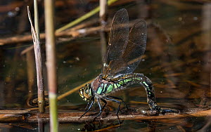 Hairy dragonfly (Brachytron pratense), female laying eggs, Finland, May.  -  Jussi Murtosaari