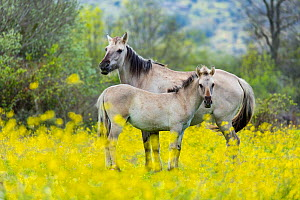 Sorraia horses, mare and foal standing amongst wildflowers in meadow. Middle Coa, Coa Valley, Western Iberia, Portugal. April. - Juan  Carlos Munoz