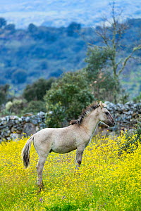 Sorraia horse foal standing in meadow. Middle Coa, Coa Valley, Western Iberia, Portugal. April 2016. - Juan  Carlos Munoz