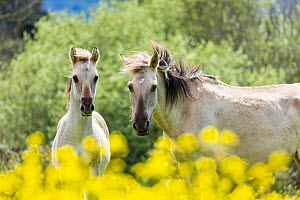 Sorraia horses, mare and foal standing amongst flowers. Middle Coa, Coa Valley, Western Iberia, Portugal. April. - Juan  Carlos Munoz