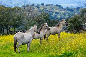 Sorraia horses, adult and two foals standing in meadow. Middle Coa, Coa Valley, Western Iberia, Portugal. April 2016. - Juan  Carlos Munoz