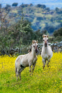Sorraia horses, two foals standing in meadow. Middle Coa, Coa Valley, Western Iberia, Portugal. April 2016. - Juan  Carlos Munoz