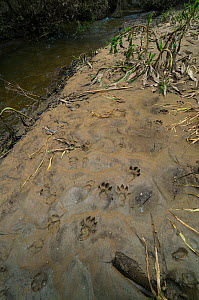 European river otter (Lutra lutra) footprints on riverbank mud. Ribeira de Piscos, Archaeological Park of the Coa Valley, Western Iberia, Portugal. April. - Juan  Carlos Munoz