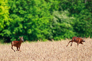 Roe deer (Capreolus capreolus), buck chasing doe through field, at woodland edge. Yonne, Bourgogne-Franche-Comte, France. May. - Cyril Ruoso
