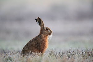 European hare (Lepus europaeus) with frozen whiskers on frosty morning. Yonne, Bourgogne-Franche-Comte, France. March.  -  Cyril Ruoso