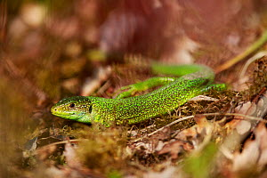 European green lizard (Lacerta viridis). Yonne, Bourgogne-Franche-Comte, France. March.  -  Cyril Ruoso