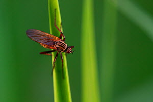 Dance fly (Empis tesselata) on blade of grass. Yonne, Bourgogne-Franche-Comte, France. April.  -  Cyril Ruoso