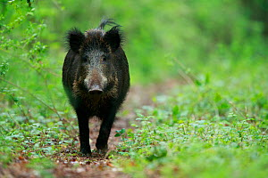Wild boar (Sus scrofa) female walking along path. Yonne, Bourgogne-Franche-Comte, France. May.  -  Cyril Ruoso