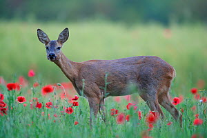 Roe deer (Capreolus capreolus) doe grazing in meadow with poppies (Papaver rhoeas). Yonne, Bourgogne-Franche-Comte, France. June.  -  Cyril Ruoso