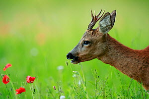 Roe deer (Capreolus capreolus) buck grazing in meadow with Poppy (Papaver rhoeas). Yonne, Bourgogne-Franche-Comte, France. June.  -  Cyril Ruoso