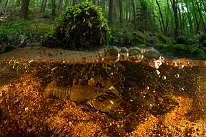 Signal crayfish (Pacifastacus leniusculus), non-native invasive species. On riverbed in woodland. La Cure river, Morvan, Bourgogne-Franche-Comte, France. May.  -  Cyril Ruoso