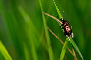 Ground beetle (Poecilus cupreus) on blade of grass. Yonne, Bourgogne-Franche-Comte, France. April.  -  Cyril Ruoso