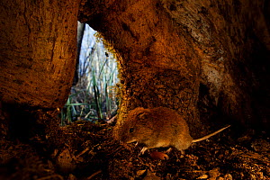 Bank vole (Clethrionomys glareolus) inside base of tree trunk. Yonne, Bourgogne-Franche-Comte, France. March.  -  Cyril Ruoso