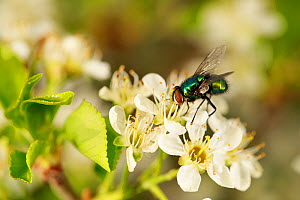 Green blowfly (Lucilia sericata) on Prunus (Prunus sp) blossom. Bourgogne-Franche-Comte, France. April.  -  Cyril Ruoso
