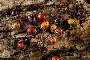 Harlequin ladybird (Harmonia axyridis) group overwintering under bark in crack in tree, non-native invasive species. Bourgogne-Franche-Comte, France. March.  -  Cyril Ruoso
