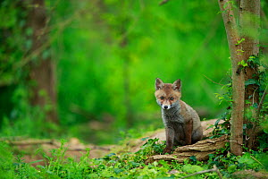 Red fox (Vulpes vulpes) cub sitting near den, in woodland. Yonne, Bourgogne-Franche-Comte, France. May.  -  Cyril Ruoso