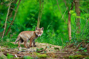 Red fox (Vulpes vulpes) cub outside den. Yonne, Bourgogne-Franche-Comte, France. May.  -  Cyril Ruoso