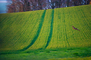 Roe deer (Capreolus capreolus) buck leaping in field. Yonne, Bourgogne-Franche-Comte, France. April.  -  Cyril Ruoso
