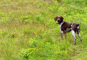 German short-haired pointer standing in grassland. - David Pike
