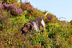 German short-haired pointer running through Heather. Dartmoor, Devon, England, UK. August. - David Pike