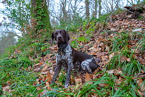 German short-haired pointer sitting in woods. England, UK. December. - David Pike