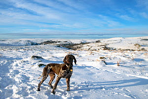 German short-haired pointer standing in snow. Dartmoor National Park, Devon, England, UK. March. - David Pike