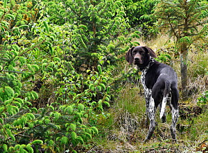 German short-haired pointer looking over shoulder in coniferous forest. Winsford, Somerset, England, UK. - David Pike
