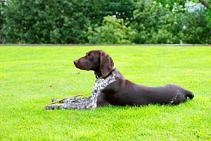German short-haired pointer lying down on lawn. - David Pike