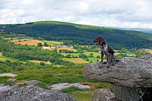 German short-haired pointer sitting on tor. Darmoor, Devon, England, UK. July 2017. - David Pike