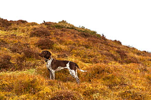 German short-haired pointer standing in acid grassland. - David Pike