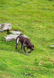 German short-haired pointer running in grassland. - David Pike