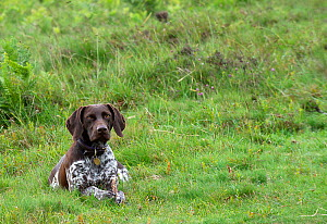 German short-haired pointer lying down in grassland. - David Pike