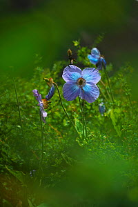 Blue poppy (Meconopsis grandis) Cona County, China. - Dong Lei