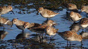 Flock of Western sandpipers (Calidris mauri) foraging on a mudflat at low tide, Southern California, USA.  -  John Chan