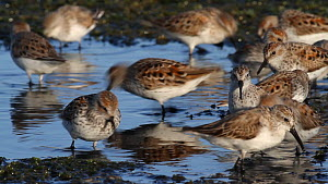 Flock of Western sandpipers (Calidris mauri) taking flight from salt marsh, Southern California, USA. - John Chan