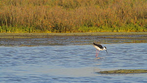 Black-necked stilt (Himantopus mexicanus) foraging in salt marsh, Southern California, USA.  -  John Chan