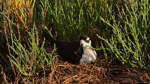 Female Black-necked stilt (Himantopus mexicanus) maintaining nest site in salt marsh, Southern California, USA.  -  John Chan