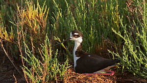 Black-necked stilt (Himantopus mexicanus) leaving nest site, Southern California, USA.  -  John Chan