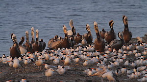 California brown pelicans (Pelecanus occidentalis californicus) roosting on a mudflat, with a flock of Elegant terns (Thalasseus elegans) nearby, Southern California, USA May/2019  -  John Chan