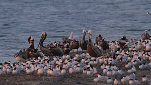 California brown pelicans (Pelecanus occidentalis californicus) stretching their gular pouches and preening, resting near to a flock of Elegant terns (Thalasseus elegans), Southern California, USA, Ma...  -  John Chan
