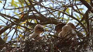 Cooper's hawk (Accipiter cooperii) nestling pecking sibling, Southern California, USA, June.  -  John Chan