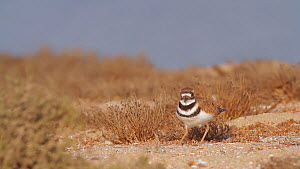 Killdeer (Charadrius vociferus) stamping its feet to create vibrations in the sand as it forages for insects, Southern California, USA, August.  -  John Chan